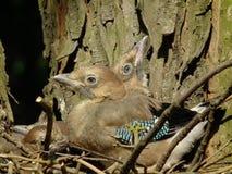 Junge Eichelhäher Küken, die in der Nest Familie von Vögeln sitzen Lizenzfreies Stockbild