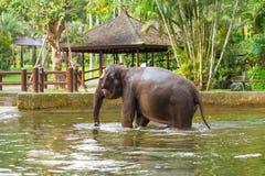 Junge Elefantschwimmen im Pool auf dem Hintergrund von Gazebos und von Palmen stockbilder