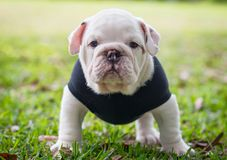 Junge englische Bulldogge Lizenzfreie Stockfotografie