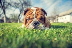 Junge englische Bulldogge im Freien stockbilder