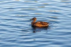 Junge Ente, die langsam durch den blauen See schwimmt Stockfoto