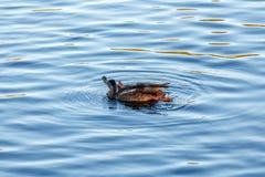 Junge Ente, die langsam durch den blauen See schwimmt Stockfotografie