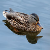 Junge Ente, die langsam durch den blauen See schwimmt Lizenzfreie Stockfotografie