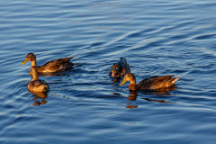 Junge Enten, die langsam durch den blauen See schwimmen Stockfotos