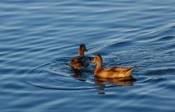 Junge Enten, die langsam durch den blauen See schwimmen Stockbilder
