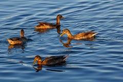 Junge Enten, die langsam durch den blauen See schwimmen Stockbild