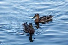 Junge Enten, die langsam durch den blauen See schwimmen Stockfoto