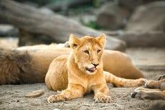 Junge entspannende Löwin Lizenzfreie Stockbilder