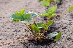 Junge Erdbeeranlage gepflanzt im Boden Lizenzfreie Stockbilder