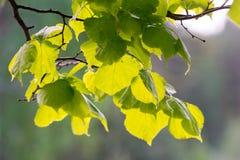 Junge Erlenblätter Stockfotos