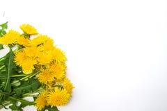 Junge Erwachsene Blühende gelbe Löwenzahnblumen Stockfoto