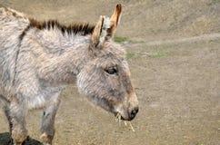 Junge Esel ziehen Stroh und Gras im Zoo ein Lizenzfreie Stockbilder