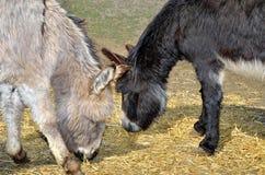 Junge Esel ziehen Stroh und Gras im Zoo ein Stockfotos