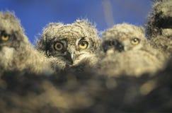 Junge Eulen im Nest an der Dämmerung Lizenzfreie Stockfotos