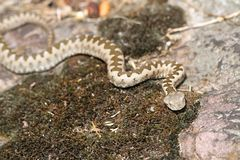 Junge europäische Hornviper im natürlichen Lebensraum Stockfoto
