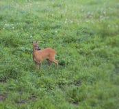 Junge europäische Rotwild-Halt, zum auf Gefahr zu überprüfen Stockfotografie