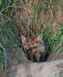 Junge Füchse im Loch Lizenzfreie Stockfotografie
