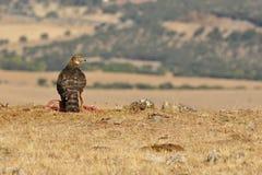 Junge Falkezufuhren auf dem Feld Lizenzfreies Stockfoto