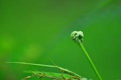 Junge Farnknospe mit grünem Hintergrund lizenzfreie stockbilder