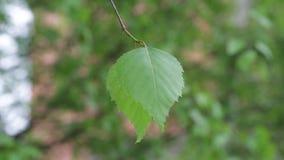 Junge Federblätter, die in den Wind beeinflussen stock footage