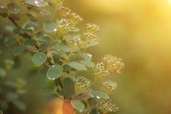 Junge Federblätter mit Regentropfen des Sonnenaufflackerns stockbilder