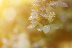 Junge Federbl?tter mit Regentropfen des Sonnenaufflackerns stockfoto