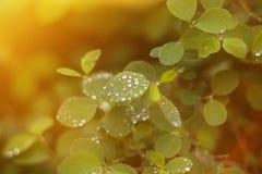 Junge Federbl?tter mit Regentropfen des Sonnenaufflackerns stockfotos