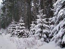 Junge Fichten im Wald bedeckt mit Schnee stockfotos