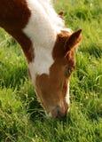 Junge-Fohlen, das Gras isst Stockbild