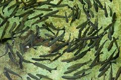 Junge Forellen im Becken Stockfoto