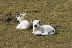 Junge Frühlings-Lämmer Lizenzfreie Stockfotos