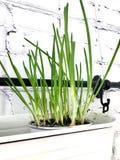 junge Frühlingsfrühlingszwiebeln in den weißen keramischen Tellern in der Küche lizenzfreie stockfotografie