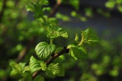 Junge Frühlingshimbeerblätter Stockfoto