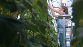 Junge Frau bindet die Gurkenanlagen, die im landwirtschaftlichen Betrieb stehen stock footage