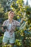 Junge Frau, die Beeren vom Busch zupfend im Garten arbeitet Stockfotografie