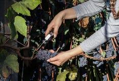 Junge Frau, die blaue Trauben für Weinproduktion erntet lizenzfreie stockfotos