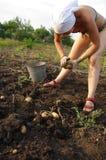 Junge Frau, die eine Kartoffel auswählt Lizenzfreie Stockfotos