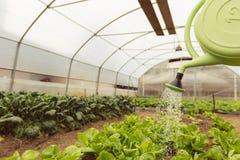 Junge Frau, die grünen Salat im Gewächshaus im Frühjahr wässert lizenzfreie stockfotos