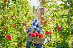 Junge Frau, die reife organische Äpfel im Obstgarten oder auf Bauernhof an einem Falltag auswählt Stockfotografie