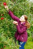 Junge Frau, die rote Äpfel auf Bauernhof auswählt stockbild
