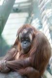 Junge Frau eines Orang-Utans Stockbild