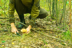 Junge Frau erfasst Pilze am Waldwarmen sonnigen Morgen stockfoto