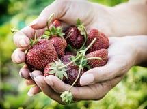 Junge Frau mit einer Handvoll frischen Erdbeeren, Frühlingsszene Lizenzfreie Stockbilder