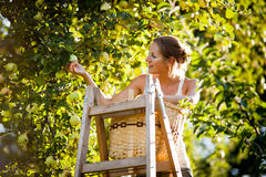 Junge Frau oben auf Äpfeln eines Leitersammelns von einem Apfelbaum stockfotografie