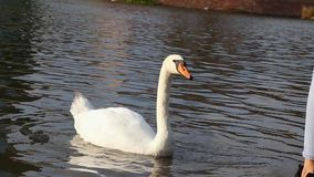Junge Frau ziehen einen schönen Höckerschwan auf dem Ufer von Teich ein stock video