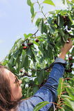 Junge Frauen-Sammeln-Kirschen Lizenzfreie Stockfotos