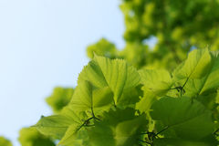Junge frische grüne Blätter des Lindenbaums gegen den Himmel Stockbilder