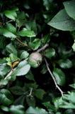 Junge Frucht einer dekorativen Quitte auf einer Niederlassung mit Blättern stockbilder