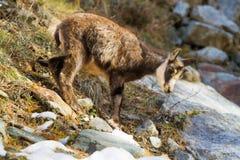 Junge Gämsenwild lebende tiere Lizenzfreie Stockbilder