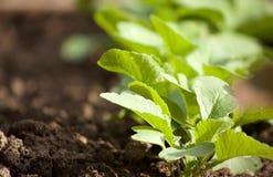 Junge Gartenrettiche Lizenzfreie Stockfotos